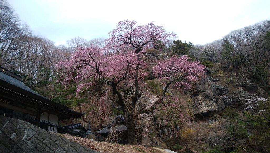 布引観音の枝垂れ桜