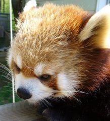 茶臼山動物園レッサーパンダ