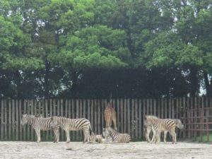 東武動物公園のしまうま