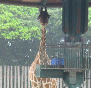 東武動物公園のキリン