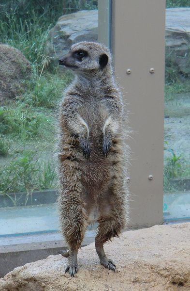 東武動物公園のミーアキャット