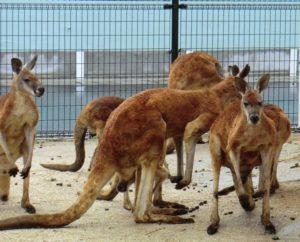 東武動物公園のカンガルー