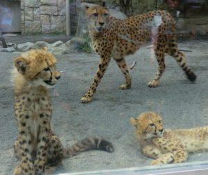 多摩動物公園のチーター