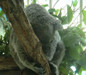 多摩動物園のコアラ
