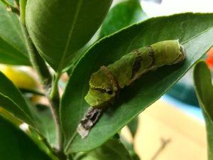 アゲハチョウの5齢幼虫