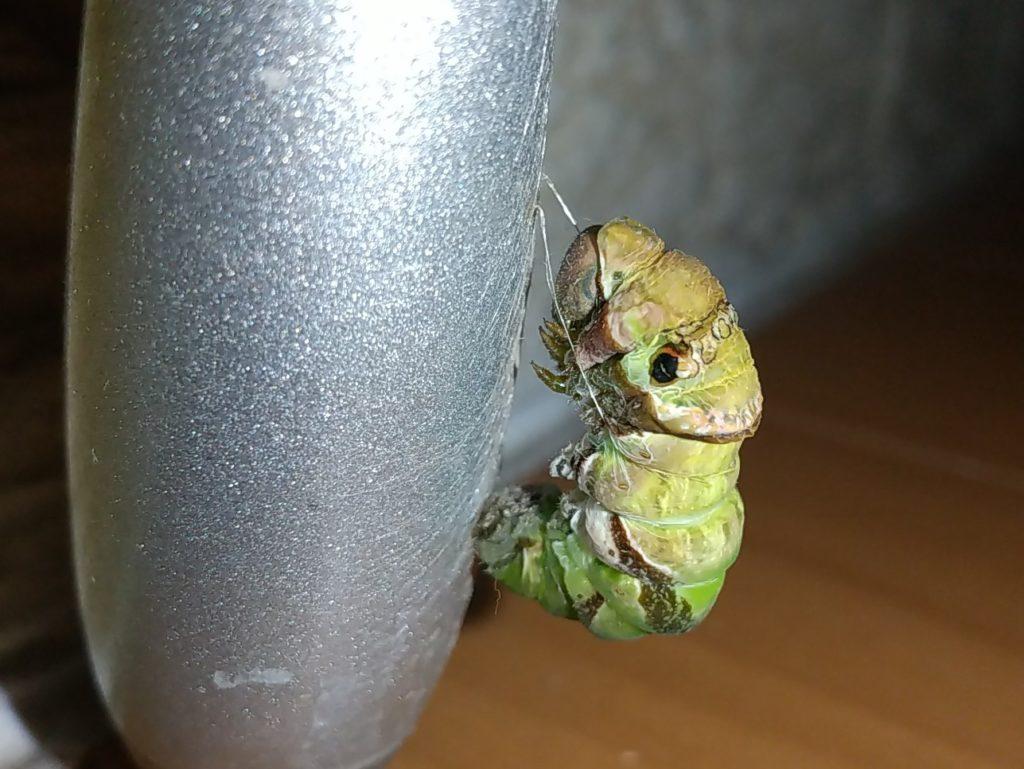 クロアゲハの前蛹